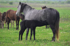 Horse standing and feeding its foal Royalty Free Stock Images