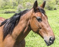 Horse standing at a fence. A horse in a forest standing at a fence. Posing Royalty Free Stock Images