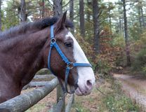 Horse Standing At Fence. Looking down road in autumn royalty free stock photo