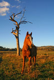 Horse standing in a field Stock Photography
