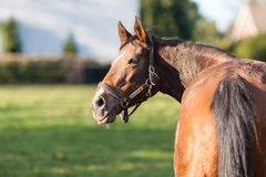 Horse. A horse standing in a field looking to the left royalty free stock photos