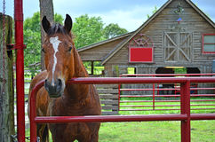 Horse Standing by Gate 0f Horse Stable. Male brown horse standing by the red gate in front of a rustic wooden horse stable Stock Image