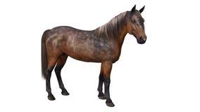 Horse standing, hoofed animal  on white Royalty Free Stock Photo