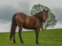 A horse is standing and looking at somewhere far on the hill. A tree is behind of the horse stock image