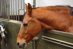 Horse in manege stable. Horse standing in manege box Royalty Free Stock Photo