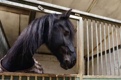 Horse in manege stable. Horse standing in manege box Stock Images