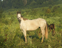 Horse standing next to two small brown colts in field Royalty Free Stock Images