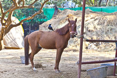 Horse standing in the outdoor stable with a bird Stock Photography