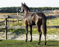Horse standing in a paddock on a green grass. A brown horse standing in a paddock on a green grass Stock Images