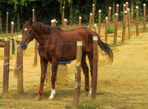 Horse standing in the pen. On the sand ground royalty free stock images