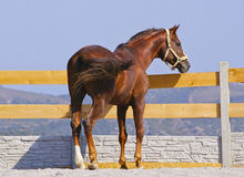 Horse are standing on the sand near the fence in the paddock Stock Photography