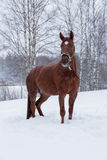 Horse standing in snow Stock Photography