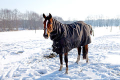 Horse standing in snow on winter landscape Stock Image