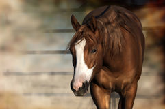 Horse standing. Sorrel horse standing in the evening sunlight next to a fence Royalty Free Stock Images