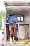 Horse standing in trailer. View from backside. Summertime outdoors Stock Photo