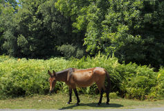 Horse in Corsica, France Stock Images
