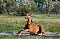 Horse standing Up. Brown Horse try to stand Up on a beautiful Meadow Stock Photos