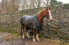 Horse standing beside the wall. Taken photo in ireland royalty free stock images