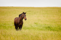 Horse standing wheat field Royalty Free Stock Photo