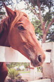 Horse standing in the white picket fence and nature background. Stock Photography