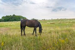 Horse, standing on a yellow field, Horse in the nature stock images