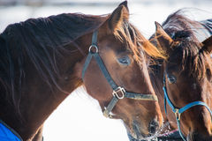 Horse stands in the cold snow Royalty Free Stock Photo