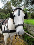 A horse staring at the camera. A white horse staring at the camera with blinders on in ecuador Stock Photos