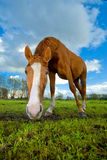 Horse staring at the camera. In a meadow Royalty Free Stock Photo