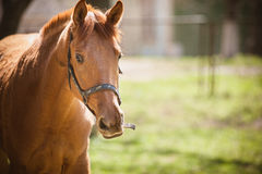 Horse. Staring directly at the camera Royalty Free Stock Photos