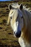 Horse staring at me. White horse on a field Royalty Free Stock Image
