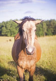 Horse staring to camera. Couple of lithuanian breed horse Royalty Free Stock Photo