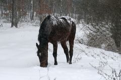 Horse staying in the snow during a snowfall in the field stock photography