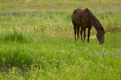 Horse in steppe Stock Photography