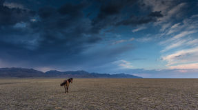Horse in the steppe Royalty Free Stock Photography