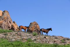 Horse  steppe species Adayev  Jabe Royalty Free Stock Photography