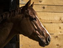 Horse sticking out Stock Images