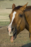Horse Sticking Out Tongue Stock Photography