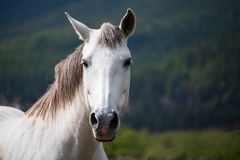 A white horse stands on the pasture and looks to me royalty free stock photography