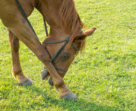 Horse Stooping. A horse bowing or stooping towards the ground Stock Images