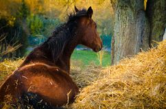 Horse in straw Royalty Free Stock Photos