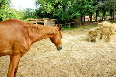 Horse Straw Stable Goal Royalty Free Stock Image