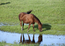 Horse by stream. Stock Image