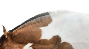 Markings. A horse stretches her neck. She has the typical mane of a Norwegian Fjord horse, but is crossbred with a horse with white spots Stock Photo