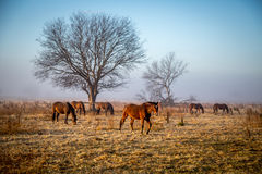 Horse Stud. Early morning at horse stud Richmond NSW Australia royalty free stock photos