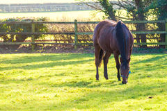 Horse. A stunning horse in bright sunlight eating grass stock image