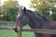 Horses Suffolk Autumn Royalty Free Stock Photo