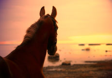 Horse in suinset on the sea Royalty Free Stock Image