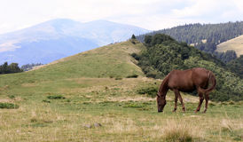 Horse on a summer lawn in mountains Royalty Free Stock Image