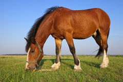 Horse on summer meadow Royalty Free Stock Images