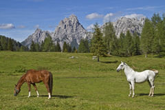 Horse summer in the mountains Stock Photography